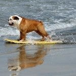 A dog participates at the 3rd Annual Loews Coronado Bay Resort surf dog competition in Imperial Beach, south of San Diego, California, on June 28, 2008. This is the largest surfing competition for dogs.. GABRIEL BOUYS/AFP/Getty Images