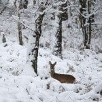 A deer is pictured in a local park in the Surrey town of Camberley, England. The United Kingdom has suffered its heaviest snowfall since the 1990s. The heavy snow has disrupted many parts of the London transport network, and hundreds of school have been forced to close.. Warren Little/Getty Images