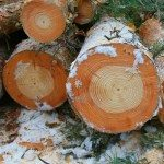 Change in wood colour in these Scots pine logs indicates the year of the accident