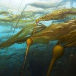 A bull kelp forest in a strong current.